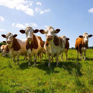 von der Kuh