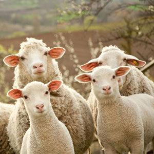 vom Schaf