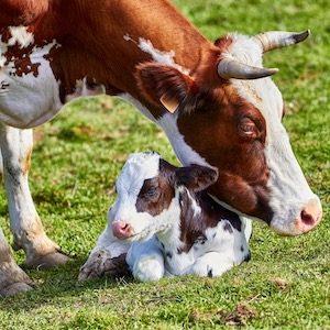 Mama Kuh Milch